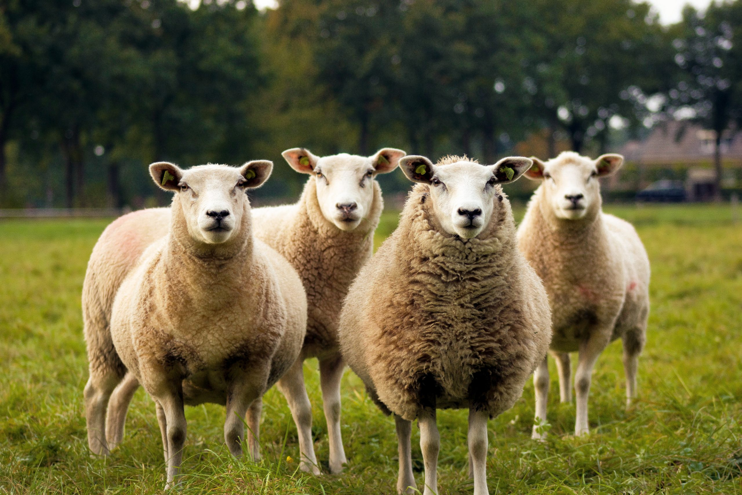 Four sheep all looking at the camera